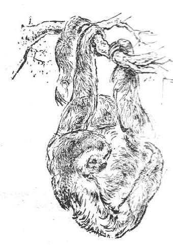 Ай - обезьяна ленивец